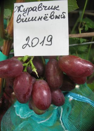 Саженец винограда Журавчик вишневый