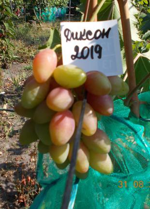 Саженец винограда Диксон