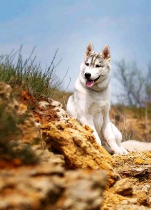 Продается щенок сибирский хаски