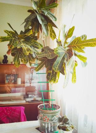 Кротон, большое красивое комнатное растение