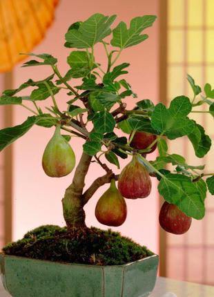 Инжир (фиговое дерево) укорененные черенки .