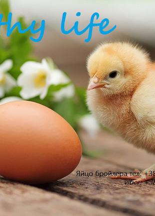 Яйцо Бройлер