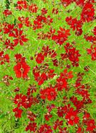 Кореопсис, цветы. Рассада.