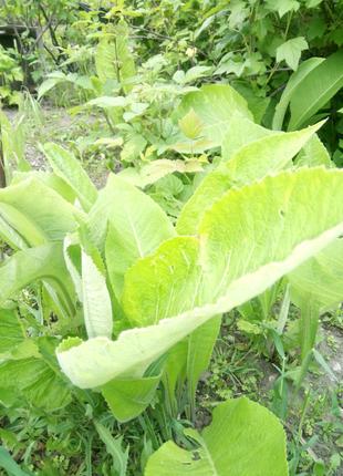 Шикарное растение лечебное - Девясил. Рассада