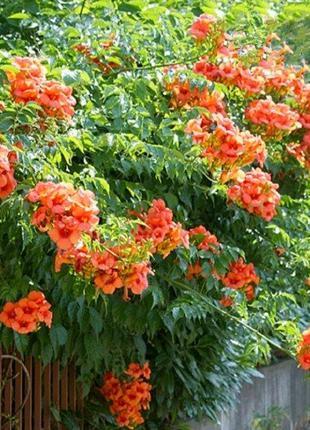 Цветок Кампсис