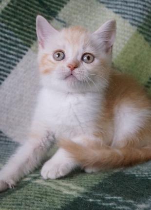 Продается персиковый мраморный на белым мальчик. :Жизнерадостный
