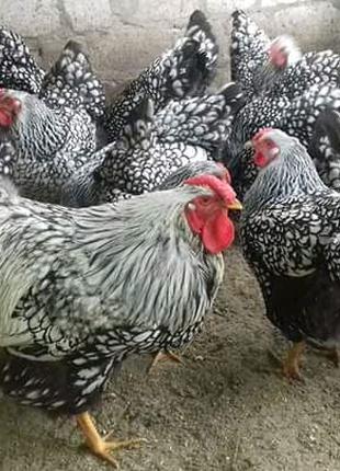 Віандот яйця
