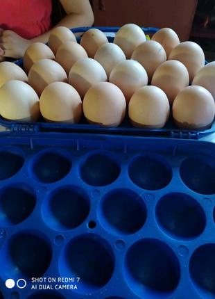 Яйця на інкубацію