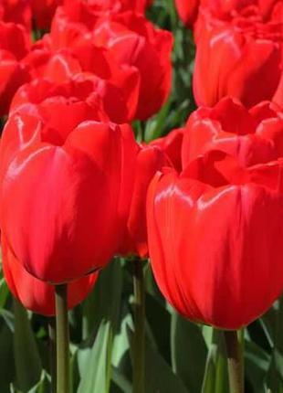 Сортовой тюльпан. Луковицы