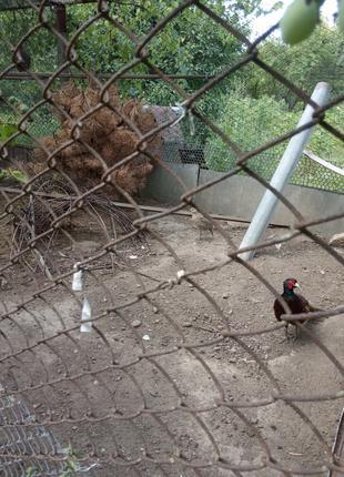 Продам яйцо крымского румынского охотничьего фазана