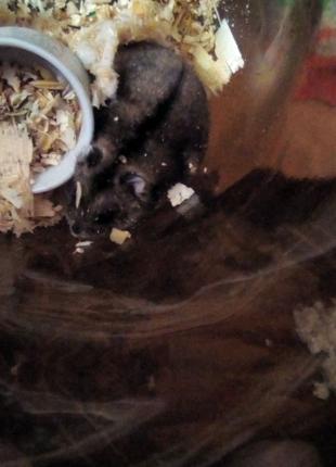 Джунгарські хомячки