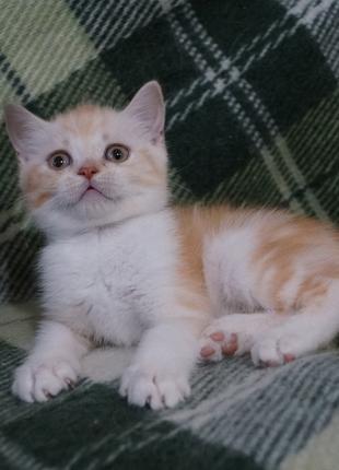 Очаровательное очарование! Скоттиш котя в благородной  молочно-ры