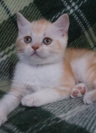 Плюшевый нежнокремовый шотландский красавчик с родословной wcf.