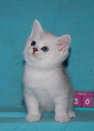 Британский котик. Серебристая шиншилла.