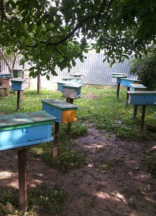 Продам плодные меченые пчелиные матки Карпатской породы 2020г.