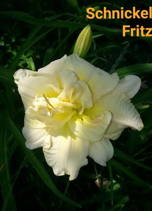 Цветок лилейник гибридный махровый Schnickel Fritz