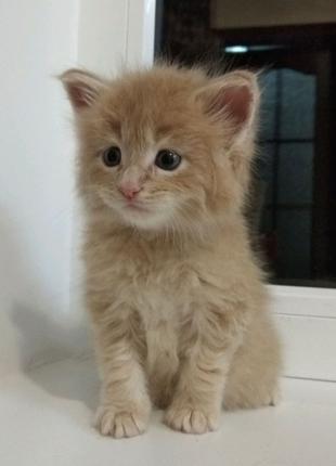 Мейн Кун котята.