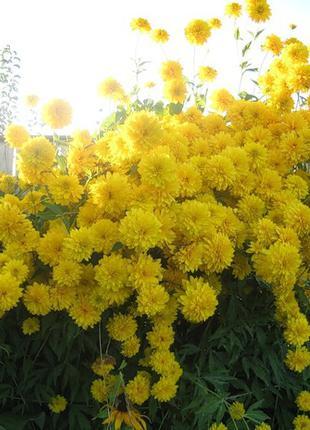 Гелиопсис сорт Санрайз  - цветок солнце