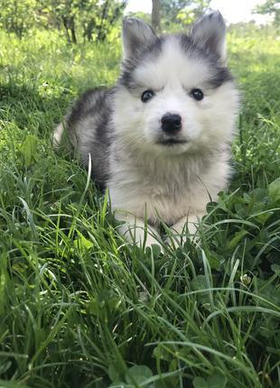 Продам цуценя сибірського хаскі Продам щенка сибирского хаски