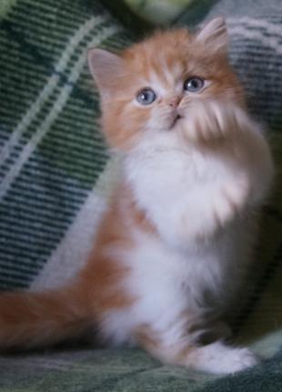 Нежный яркий мальчик - красный с белым, киевский котик хайленд. М