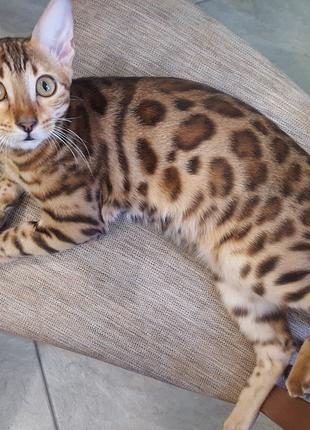 Бенгальська кішечка (розетки)