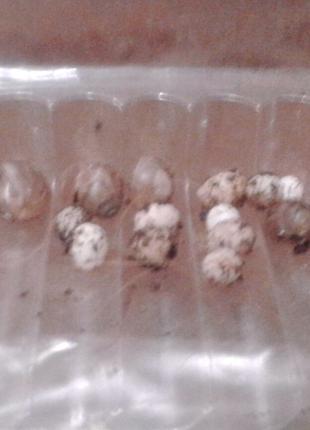 Равлики ахатіні