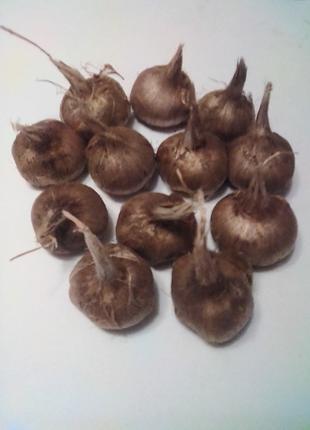 Шафран луковицы