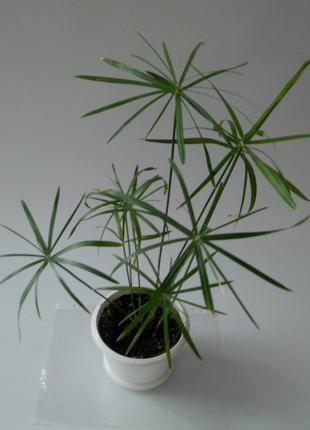 Циперус папирус комнатное растение цветок