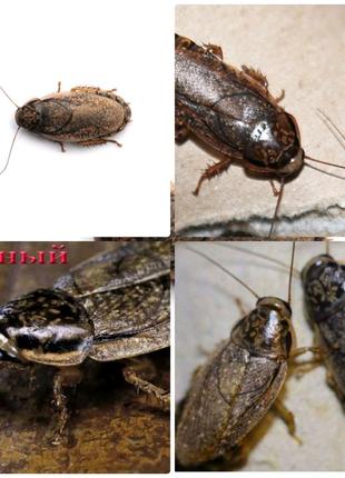 Мраморный таракан (Nauphoeta cinerea пепельный