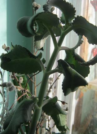 Каланхое лікарська рослина
