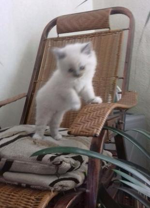 Продам кошку породы шотландская прямоухая