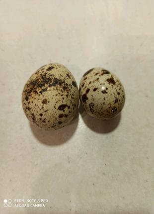 Перепелиные яйца для пищи и для инкубатора