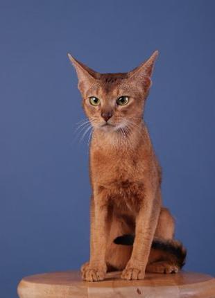 Абиссинский кот, окрас дикий. Кот для вязки. Вязка абиссин.