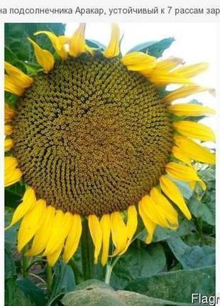 Семена подсолнечника Аракар 7р, Флорімі 7р,Фрагмент 7р под Евр...