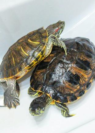Отдам черепах в хорошие руки