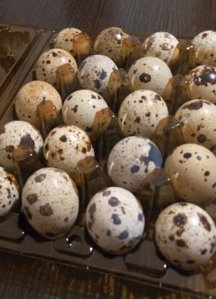 Яйця перепелині, яйца перепелинные