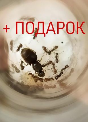 Lasius niger + ПОДАРОК (муравьи + жук знахарь)