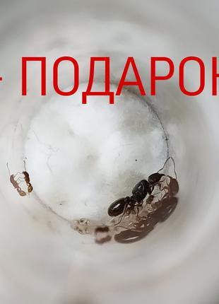 Tetramotium caespitum +  ПОДАРОК (муравьи + жук знахарь)