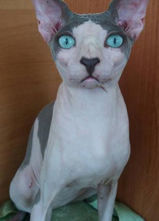 """Котик порода """"Канадский сфинкс""""голубоглазый."""