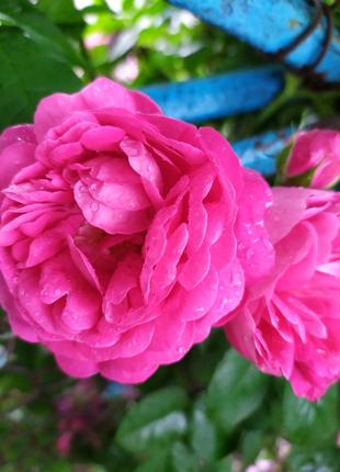 Продам сушёные лепестки чайной розы