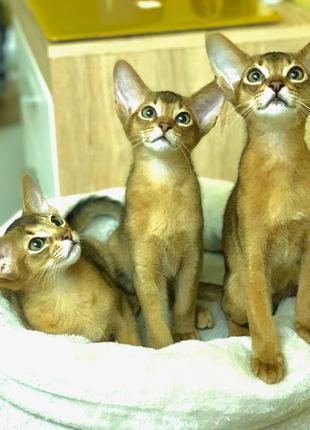 Абиссинские котята, мальчики