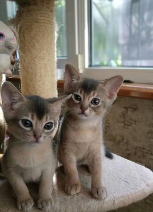 Котики абиссинские, два мальчика, родились 5 апреля