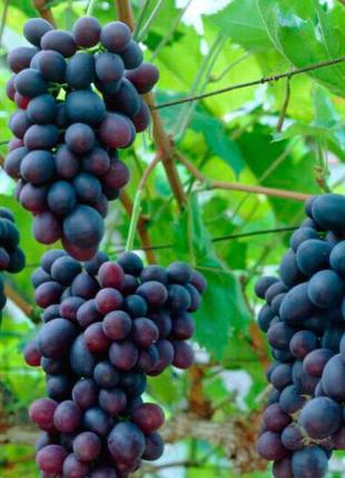 Виноград: саженцы, черенки, ягода, изюм.
