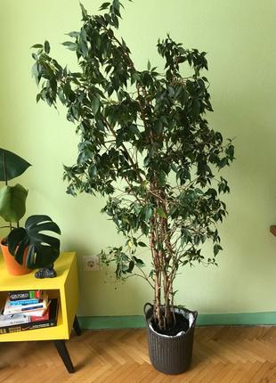 Фикус Бенджамина дерево вазон куст домашний цветок большой