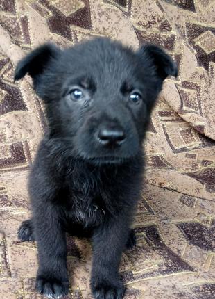 Девочка щенок немецкой чёрной овчарки