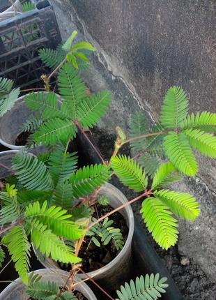 Растение двигает листьями! Супер-подарок