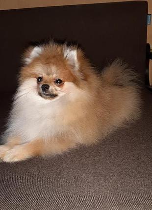 Подрощенный щенок шпица