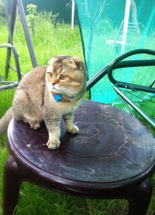 Породистый шотландец ждет в гости кошечку для досуга