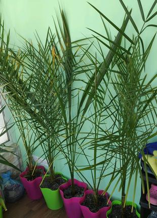 Финик - пальма