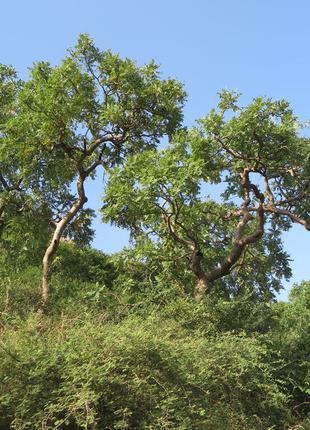 Эфирное Масло Ладан индийский (Boswellia serrata) Оптом От 1 Кг